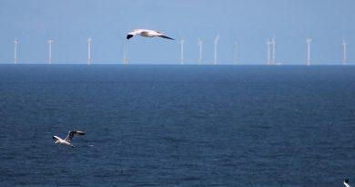 Nahrungssuchende Basstölpel vor einem Offshore-Windpark in der Nordsee. Foto: Stefan Garthe